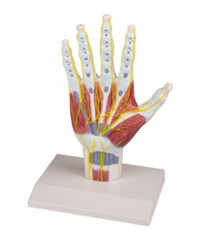 Mô hình cấu trúc giải phẫu bàn tay