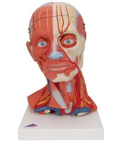 Mô hình giải phẫu hệ cơ xương đầu mặt cổ